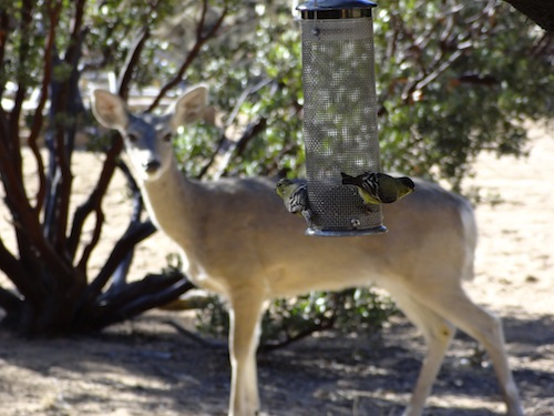 Deer and Lesser Goldfinches