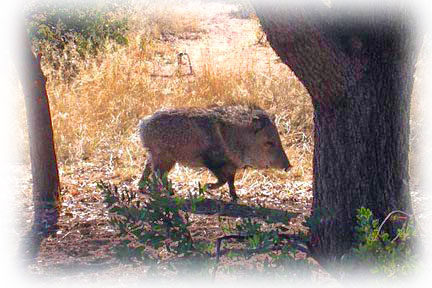 Javelina just outside the back door